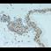 Immunohistochemistry (Formalin/PFA-fixed paraffin-embedded sections) - Anti-eIF4A3 antibody (ab32485)