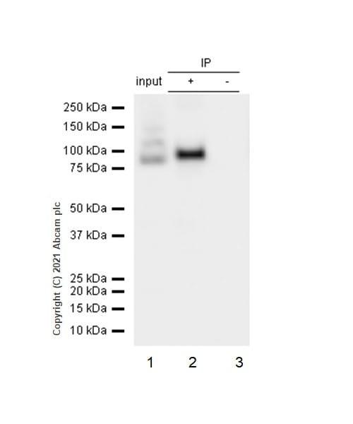 Immunoprecipitation - Anti-STAT3 antibody [E121-21] (ab32500)