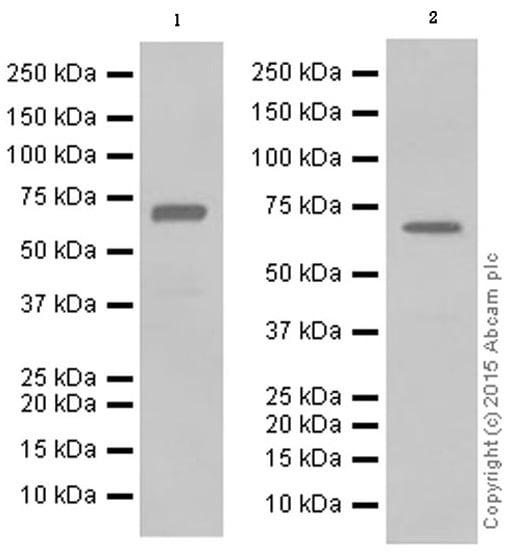 Western blot - Anti-PKR antibody [Y117] (ab32506)