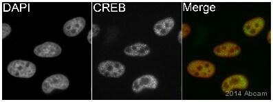 Immunocytochemistry/ Immunofluorescence - Anti-CREB antibody [E306] (ab32515)