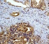 Immunohistochemistry (Formalin/PFA-fixed paraffin-embedded sections) - Anti-MEK2 antibody [Y78] (ab32517)