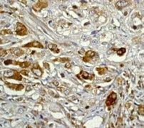 Immunohistochemistry (Formalin/PFA-fixed paraffin-embedded sections) - Anti-IKB alpha antibody [E130] (ab32518)