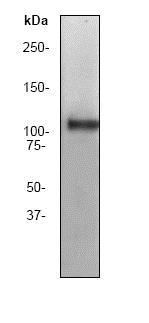 Western blot - Anti-Myosin Phosphatase 1+Myosin Phosphatase 2 antibody [YE336] (ab32519)