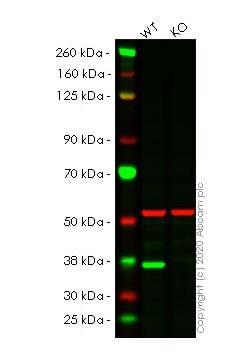 Western blot - Anti-Caspase-7 antibody [E22] (ab32522)