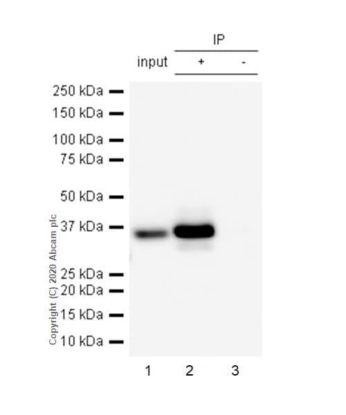 Immunoprecipitation - Anti-Caspase-7 antibody [E22] (ab32522)