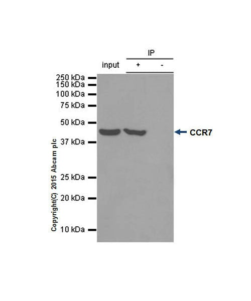 Immunoprecipitation - Anti-CCR7 antibody [Y59] (ab32527)