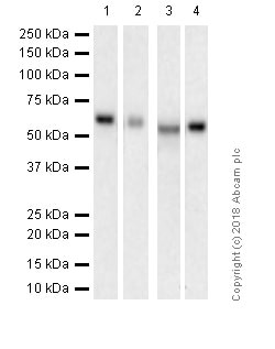 Western blot - Anti-S6K1 antibody [E343] (ab32529)