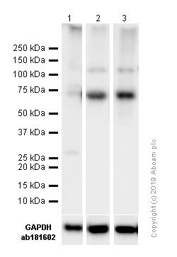 免疫印迹-抗NF-kB p65抗体[E379](ab32536)