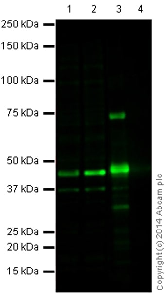 Western blot - Anti-ERK1 antibody [Y72] (ab32537)