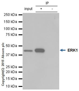 Immunoprecipitation - Anti-ERK1 antibody [Y72] (ab32537)