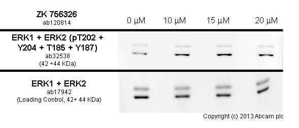 Western blot - Anti-Erk1 (pT202/pY204) + Erk2 (pT185/pY187) antibody [E337] (ab32538)