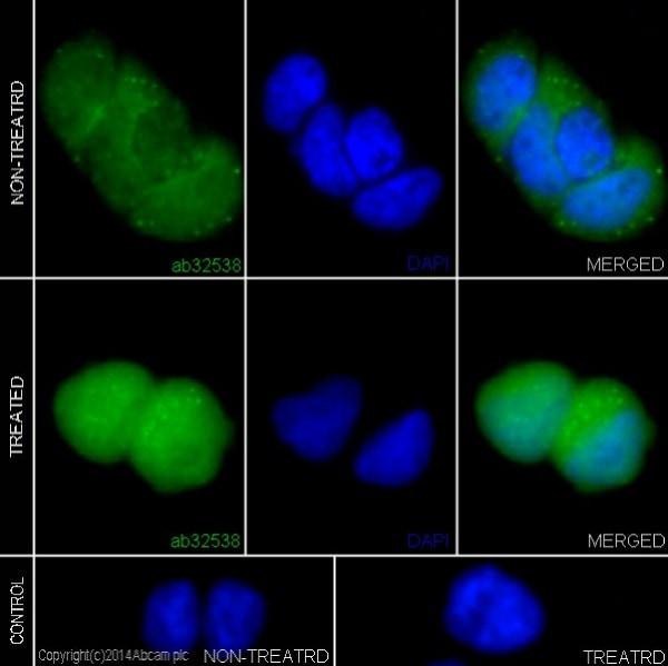 Immunocytochemistry/ Immunofluorescence - Anti-Erk1 (pT202/pY204) + Erk2 (pT185/pY187) antibody [E337] (ab32538)