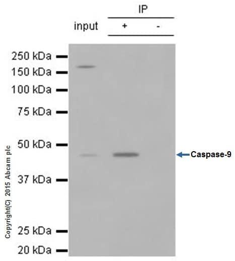 Immunoprecipitation - Anti-Caspase-9 antibody [E23] (ab32539)