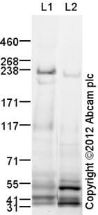 Western blot - Anti-MRP4 antibody (ab32550)