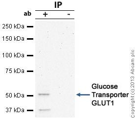 Immunoprecipitation - Anti-Glucose Transporter GLUT1 antibody (ab32551)