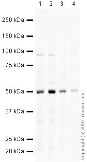 Western blot - Anti-Glucose Transporter GLUT1 antibody (ab32551)