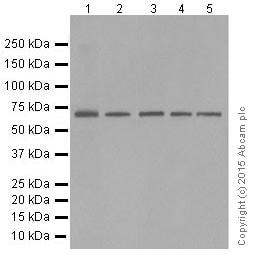 Western blot - Anti-SHP1 antibody [Y476] (ab32559)