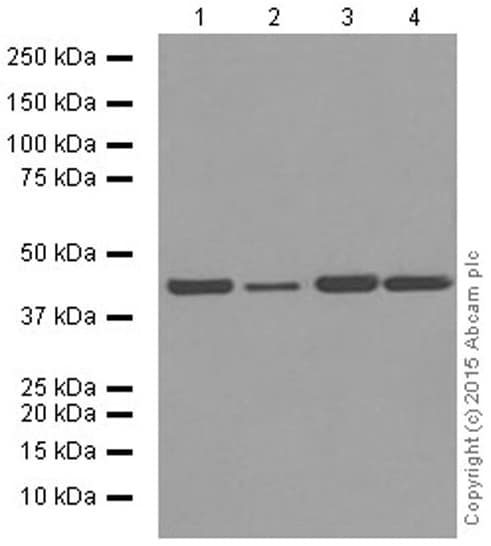 Western blot - Anti-alpha smooth muscle Actin antibody [E184] (ab32575)