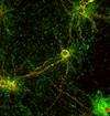 Immunocytochemistry/ Immunofluorescence - Anti-Synaptophysin antibody (ab32594)