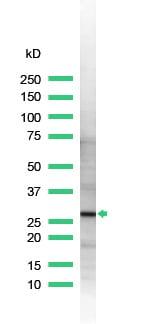 Western blot - Anti-14-3-3 zeta antibody (ab32622)