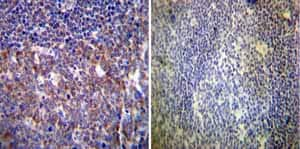 Immunohistochemistry (Formalin/PFA-fixed paraffin-embedded sections) - Anti-HCN4 antibody [SHG 1E5] (ab32675)