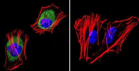 Immunocytochemistry/ Immunofluorescence - Anti-AKAP9 antibody [17G10] (ab32679)