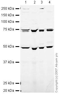 Western blot - Anti-eIF2B epsilon antibody (ab32713)