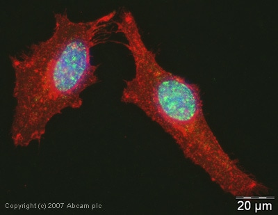 Immunocytochemistry/ Immunofluorescence - Anti-PELP1 antibody (ab32912)