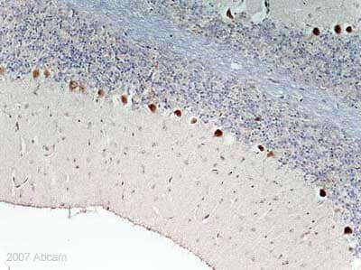 Immunohistochemistry (Formalin/PFA-fixed paraffin-embedded sections) - Anti-Emx1 antibody (ab32925)