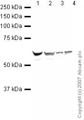 Western blot - Anti-hnRNP K antibody (ab32969)
