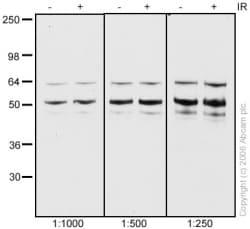 Western blot - Anti-NAP1L1 antibody (ab33076)