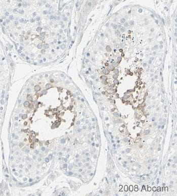 Immunohistochemistry (Formalin/PFA-fixed paraffin-embedded sections) - Anti-MSY2/YBOX2/YBX2 antibody (ab33164)