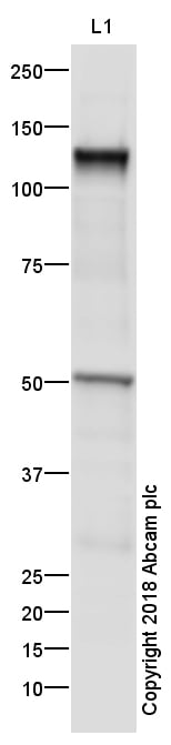 Western blot - Anti-VE Cadherin antibody - Intercellular Junction Marker (ab33168)