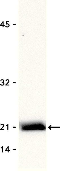 Western blot - Anti-Rac1 antibody [23A8] (ab33186)