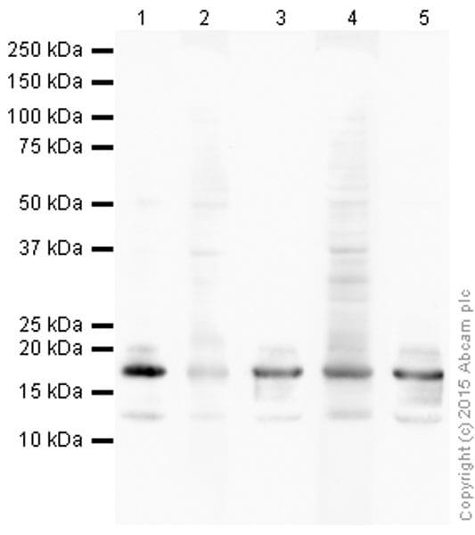 Western blot - Anti-Histone H3 (acetyl K122) antibody (ab33309)