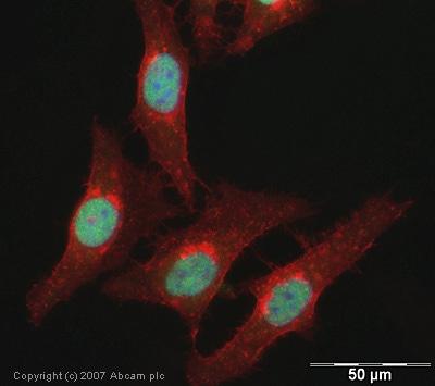 Immunocytochemistry/ Immunofluorescence - Anti-Histone H3 (acetyl K122) antibody (ab33309)