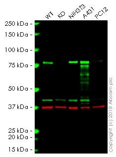 Western blot - Anti-Cortactin antibody [4F11] (ab33333)