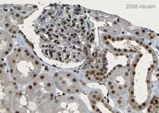 Immunohistochemistry (Formalin/PFA-fixed paraffin-embedded sections) - Anti-XLF antibody (ab33499)