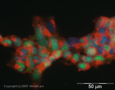 Immunocytochemistry/ Immunofluorescence - Anti-XLF antibody (ab33499)
