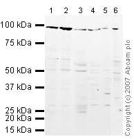 Western blot - Anti-EEF2/Elongation factor 2 antibody (ab33523)