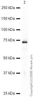 Western blot - Anti-CYP1B1 antibody (ab33586)