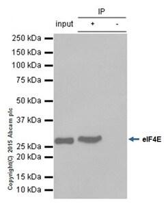 Immunoprecipitation - Anti-eIF4E antibody [Y448] (ab33766)