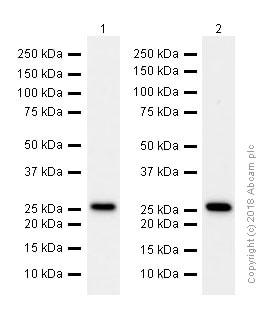 Western blot - Anti-eIF4E antibody [Y448] (ab33766)