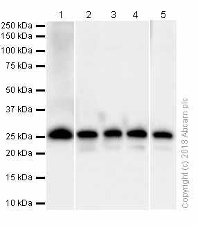 Western blot - Anti-eIF4E antibody [Y449] (ab33768)