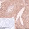 Immunohistochemistry (Formalin/PFA-fixed paraffin-embedded sections) - Anti-eIF4E antibody [Y449] (ab33768)