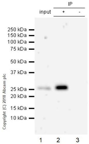 Immunoprecipitation - Anti-eIF4E antibody [Y449] (ab33768)