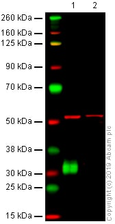 Western blot - Anti-CD8 alpha antibody [OX-8] (ab33786)