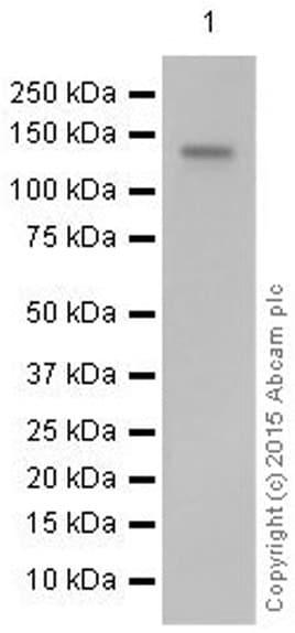 Western blot - Anti-CD22 antibody [EP498Y] (ab33859)