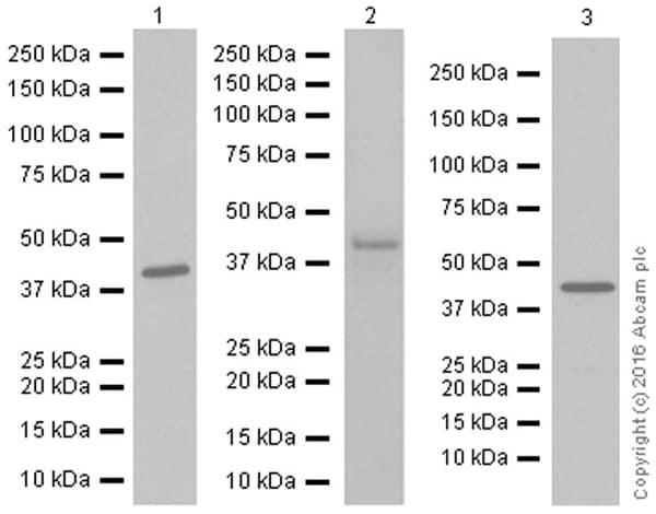 Western blot - Anti-MEK4/MKK4 antibody [EP615Y] (ab33912)
