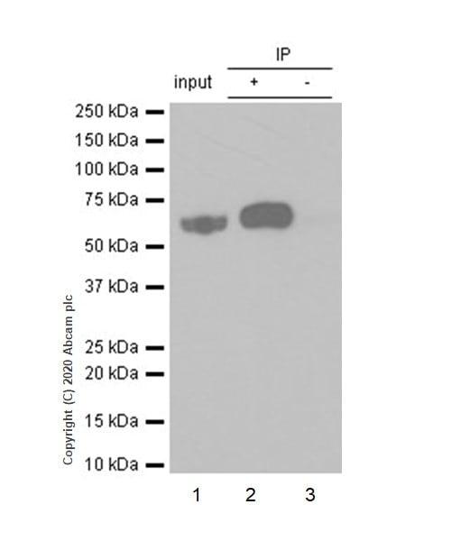 Immunoprecipitation - Anti-Lyn (phospho Y507) antibody [EP504Y] (ab33914)
